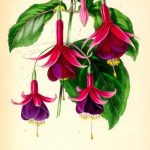 Is it Fuchsia or Fuschia?