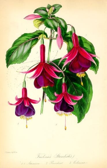 Standish's Seedling Fuchsia -- Paxton