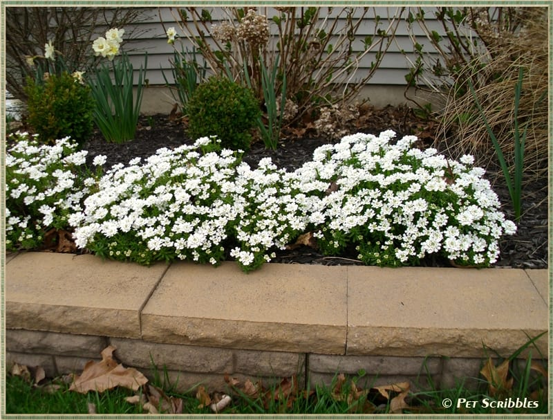 Candytuft an easy year round garden beauty pet scribbles candytuft an evergreen perennial covered in pretty white flowers every spring mightylinksfo