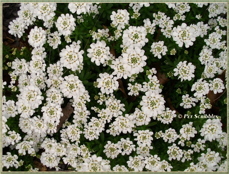 Candytuft is a blanket of pretty flowers every Spring!