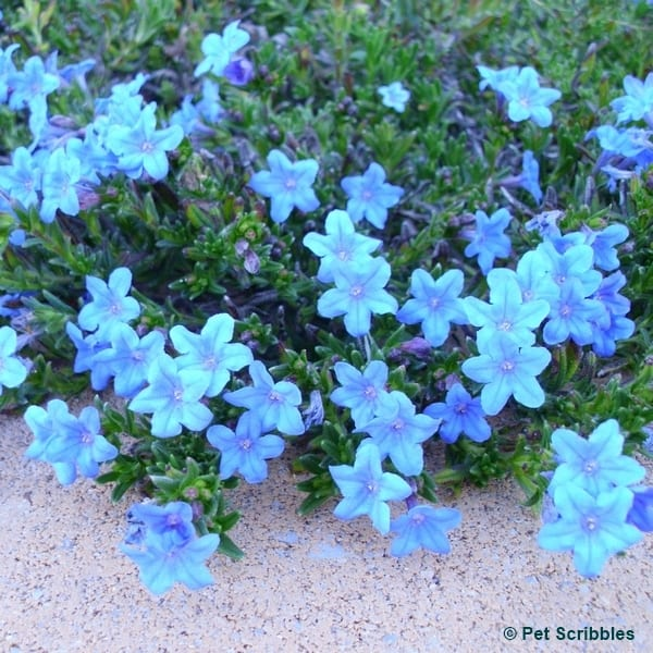 Lithodora evergreen and electric blue radiance pet scribbles lithodora evergreen perennial with electric blue flowers mightylinksfo