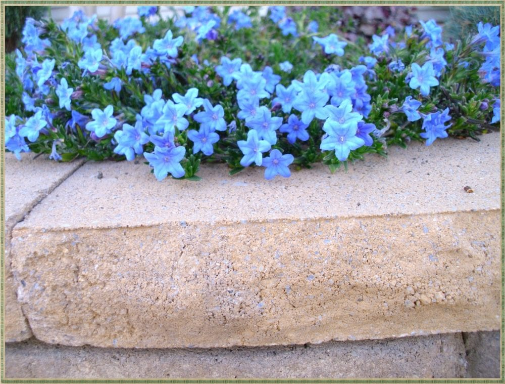 Lithodora evergreen and electric blue radiance pet scribbles lithodora evergreen perennial with electric blue flowers izmirmasajfo