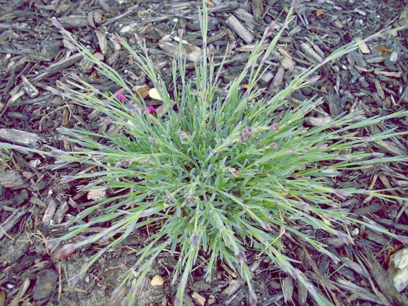 Firewitch Dianthus seedling