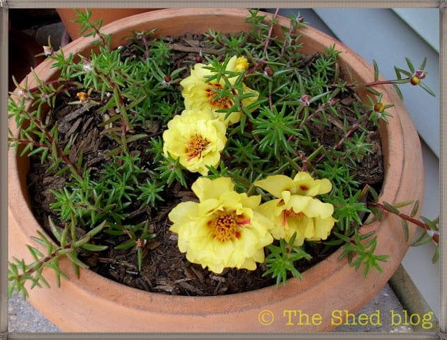 Lemon Portulaca, double flower variety