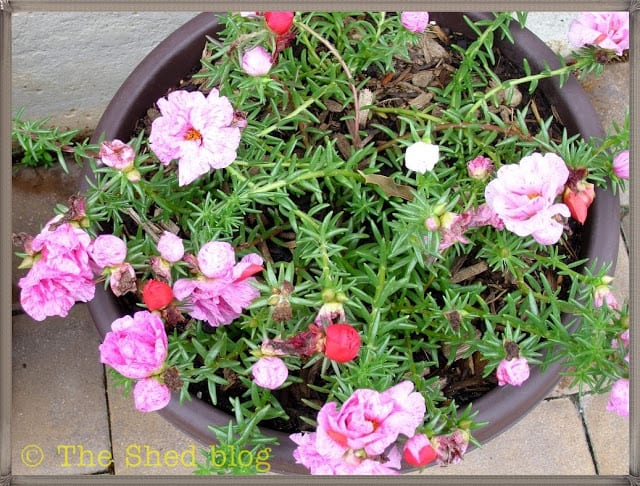 Peppermint Portulaca, double flower variety