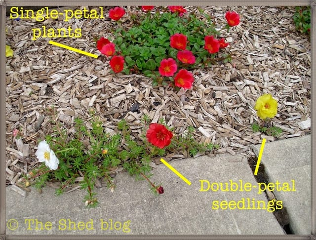 Portulaca - two different types