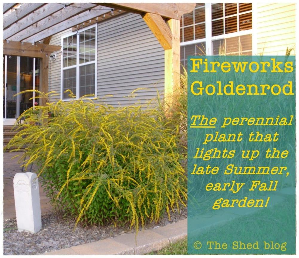 Fireworks Goldenrod