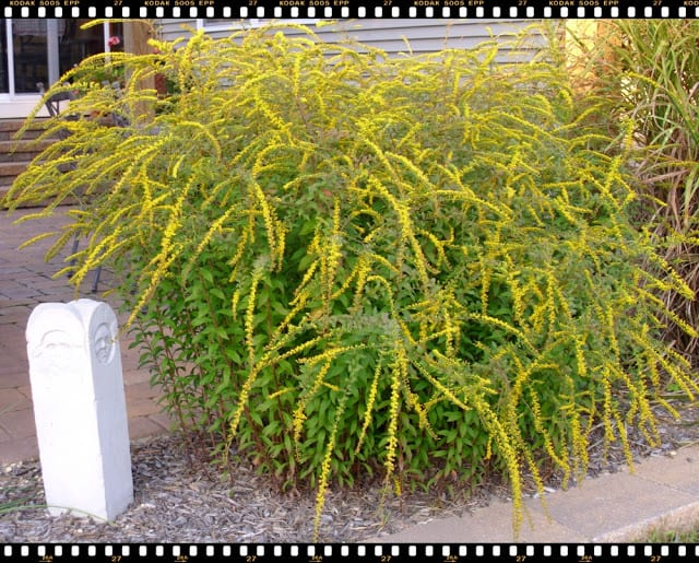 Fireworks Goldenrod in full bloom, The Shed, a blog by Pet Scribbles