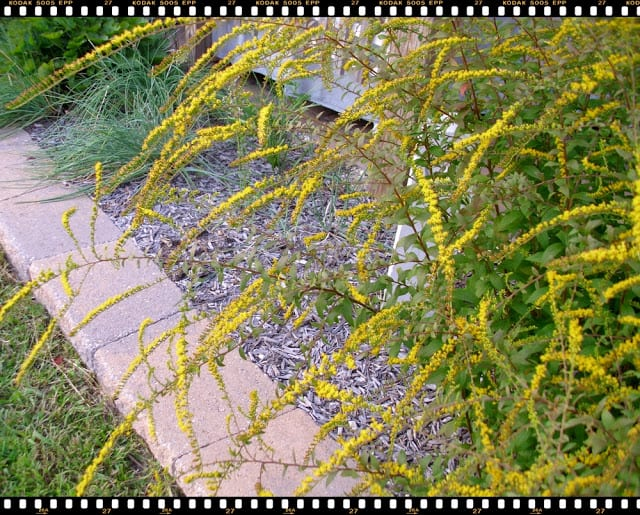 Fireworks Goldenrod in bloom, The Shed blog by Pet Scribbles