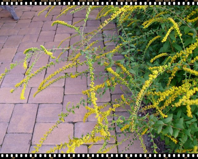 Fireworks Goldenrod flower stems, The Shed blog by Pet Scribbles