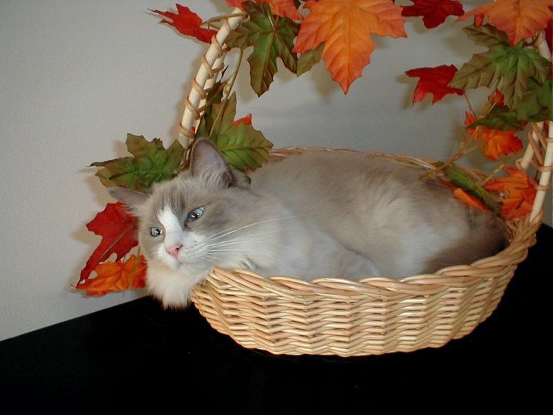 Lulu, our gorgeous Ragdoll, as part of our Thanksgiving decorations!