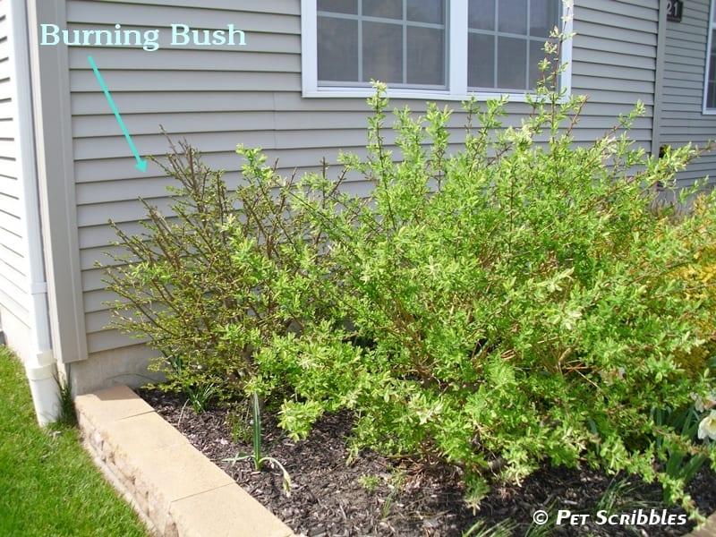 Dappled Willow: Your Yard's Wet Spot Dream!