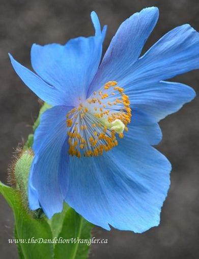 Blue Asiatic Poppy from Laura Thomas | Hometalk.com