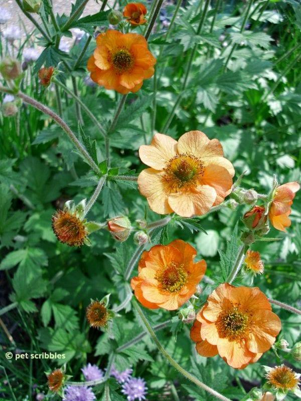 Geum (Avens) Perennial Flowers