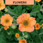 Geum Perennial Flowers For Your Garden