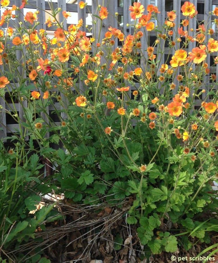 Geum Perennial Flowers
