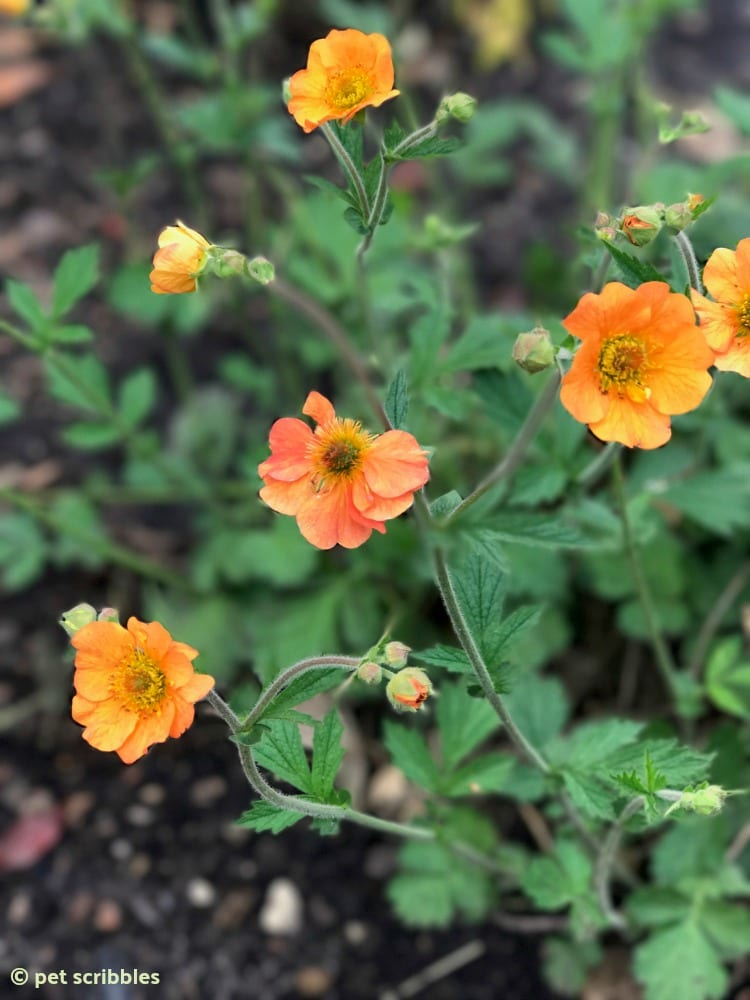 Geum Totally Tangerine perennial flowers