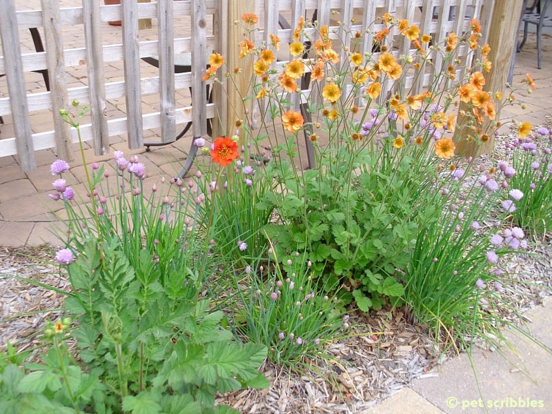 Geum blooming in May 2012 - Summer flowers