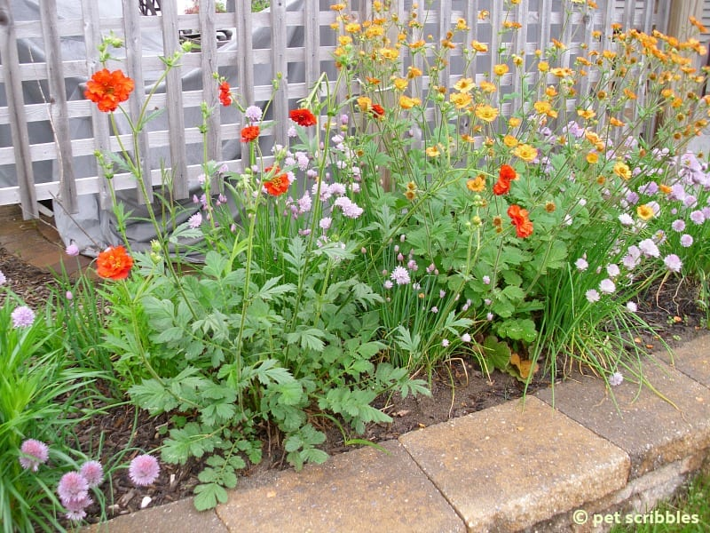 Geum blooming in May 2013 - Summer flowers