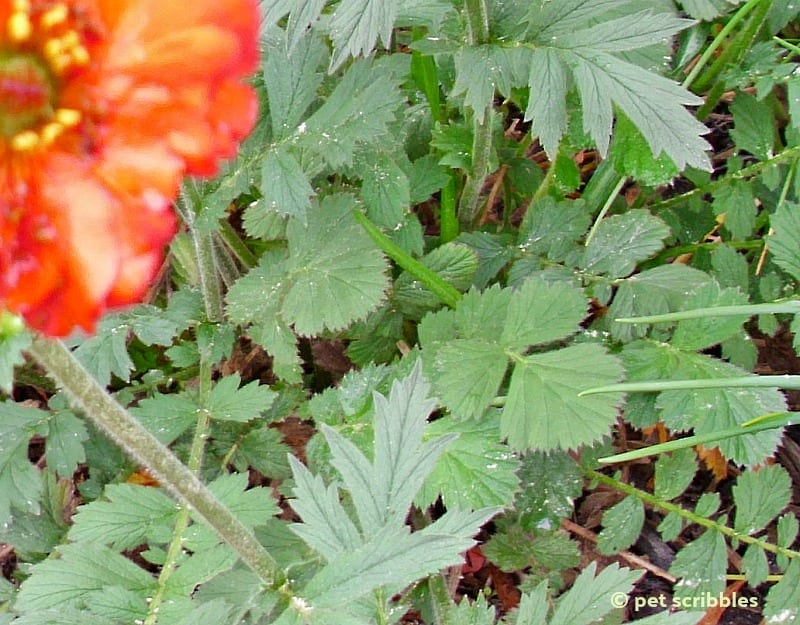 Geum leaves up close