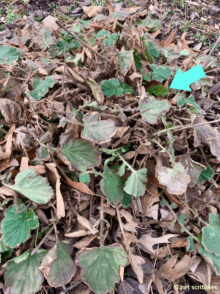 Geum semi-evergreen leaves in Winter