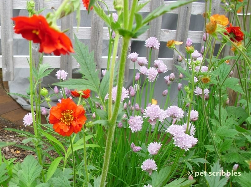 Ornamental Alliums mixed with Geum flowers