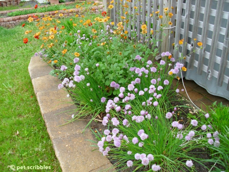 Perennial border with Alliums and Geum
