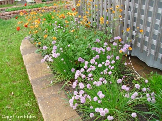 Garden Perennials - Alliums and Geum (Avens)