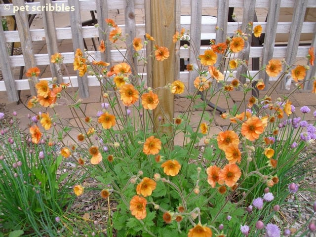 Totally Tangerine Geum is a prolific bloomer, moreso than other Geum varieties.
