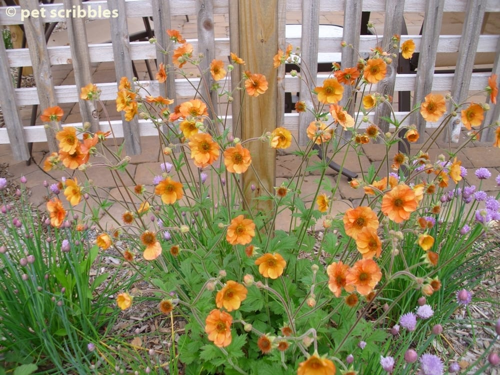 Geum perennial flowers for your garden pet scribbles totally tangerine geum is a prolific bloomer moreso than other geum varieties mightylinksfo