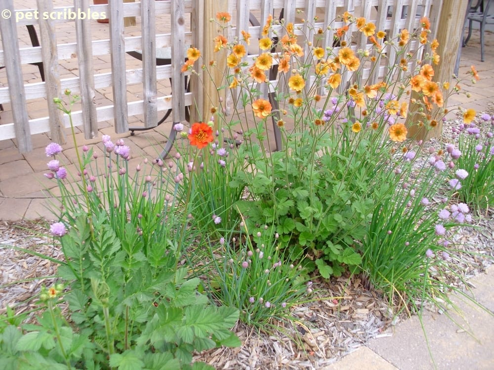Geum perennial flowers for your garden pet scribbles geum blooming in may 2012 summer flowers mightylinksfo
