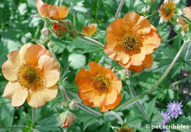 Totally Tangerine Geum: Orange Flowers for your Perennial Garden!