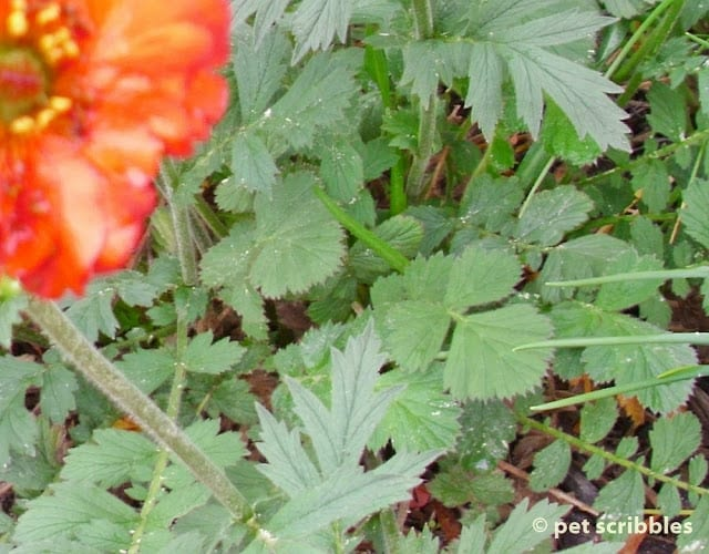 Geum leaves start out round and become more pointed as they grow.