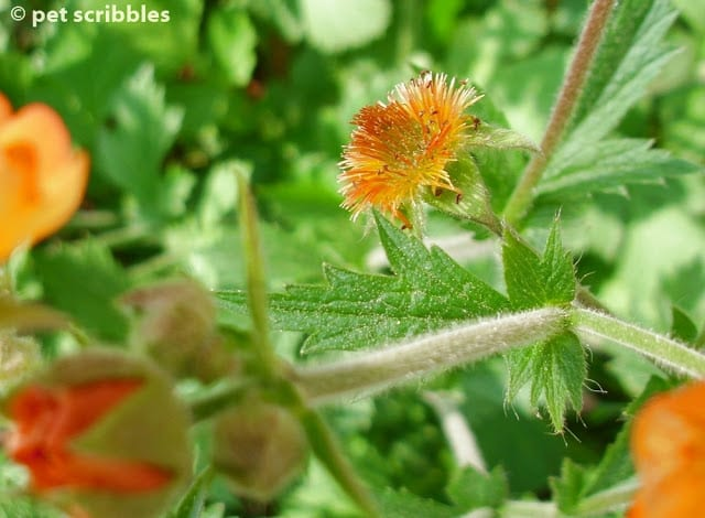 Geum's stems are hairy, and stand up tall from the base of the plant.