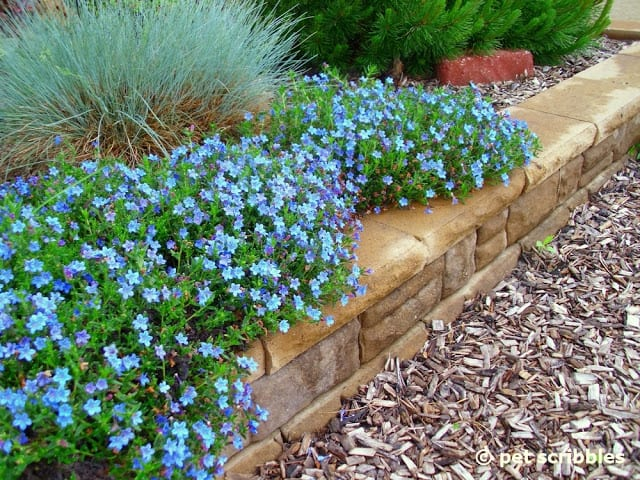 Lithodora in full bloom