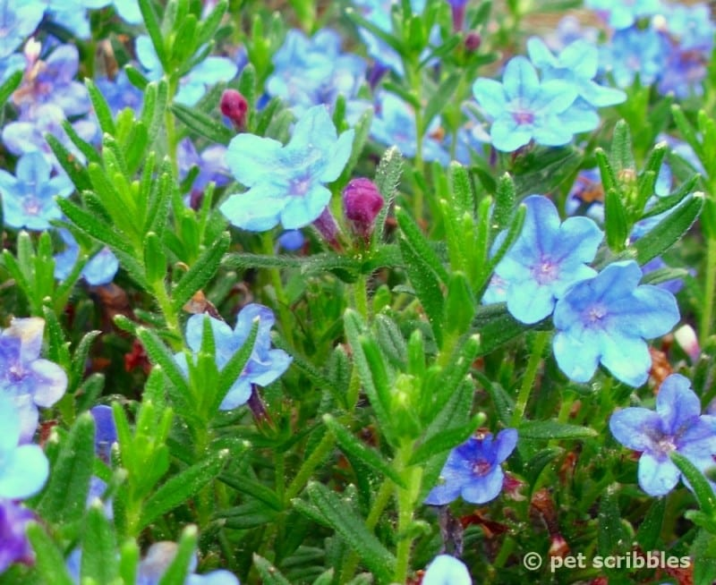 Blue Perennial Flowers? Try Lithodora! (an update one year later)