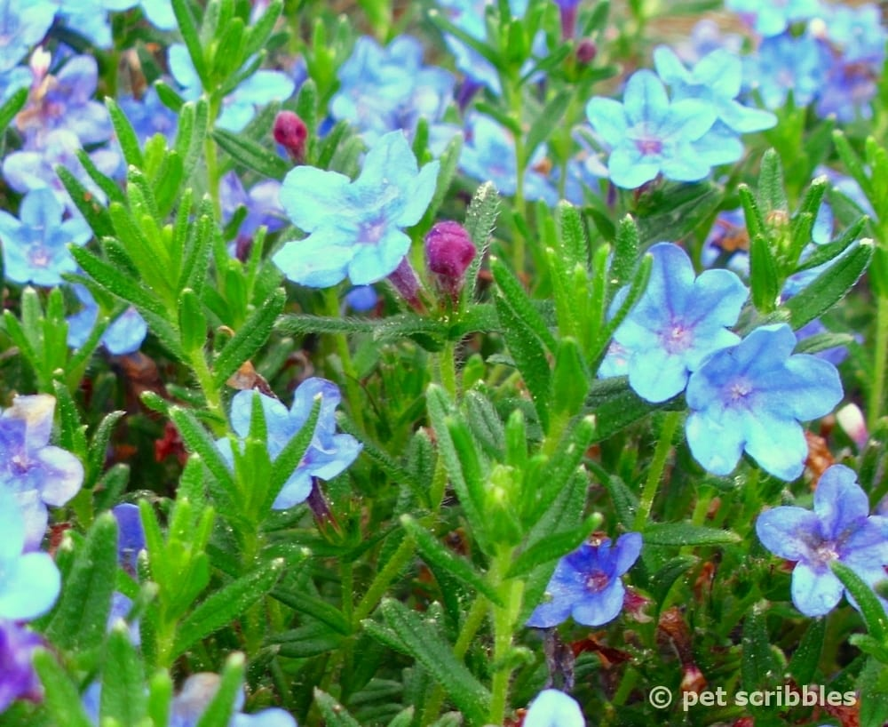 Lithodora Evergreen And Electric Blue Radiance Pet Scribbles