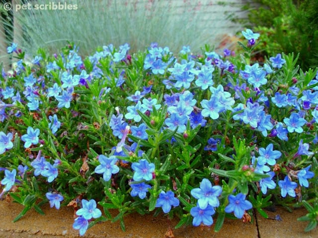 Lithodora is covered with tiny electric blue blooms!