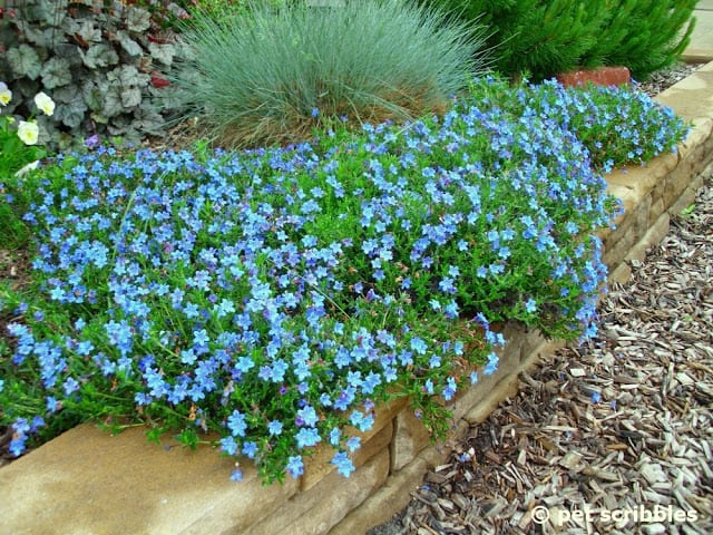 Lithodora, a perennial with intense blue flowers