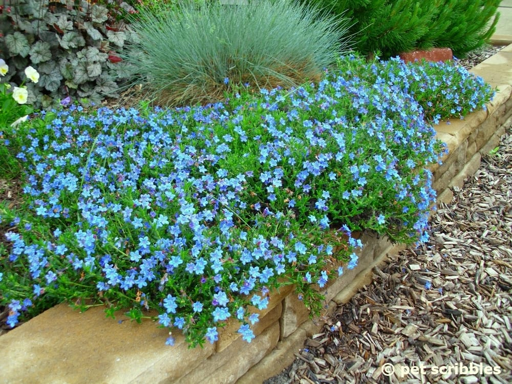 Blue perennial flowers try lithodora an update pet scribbles lithodora a perennial with intense blue flowers mightylinksfo