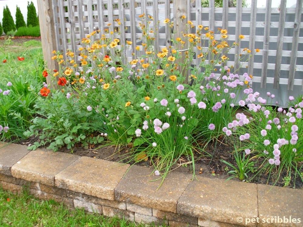 Geum perennial flowers for your garden pet scribbles geum perennials for sun mightylinksfo