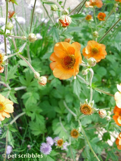 Geum: Totally Tangerine - pale-orange single blooms with hints of red