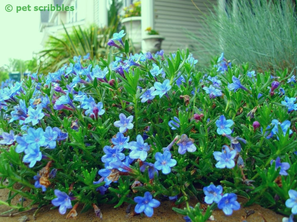 Blue perennial flowers try lithodora an update pet for Easy maintenance perennials