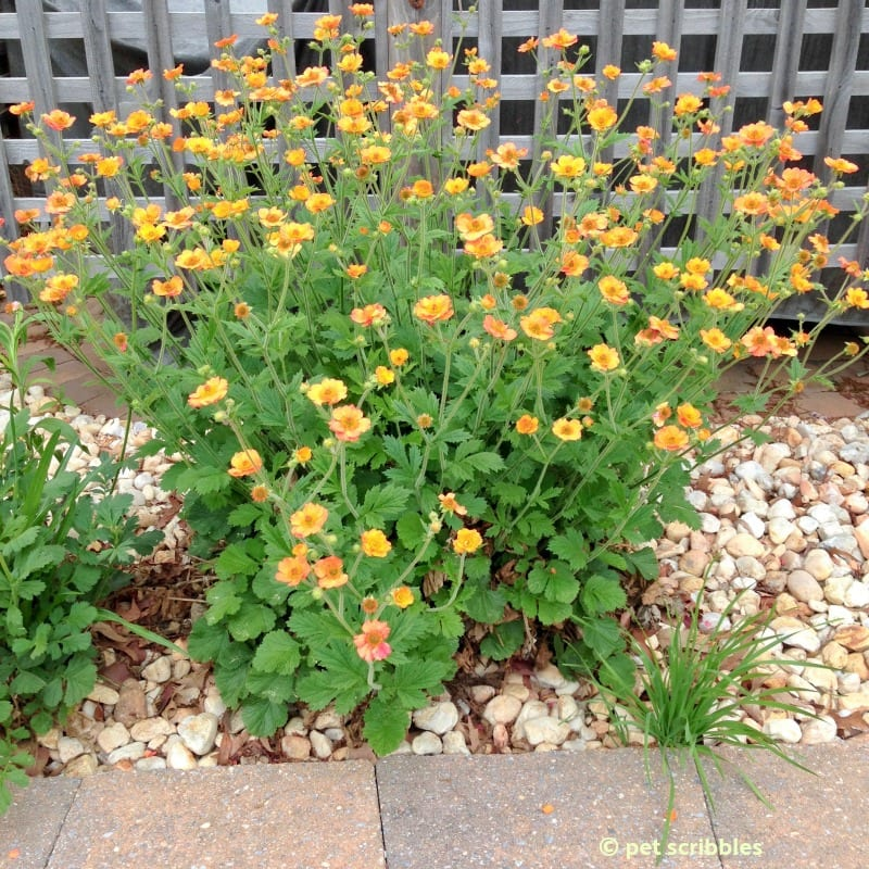 Totally Tangerine Geum perennial flowers in June 2015