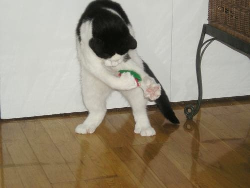 Aliza, a formerly feral cat, plays with a felt toy.