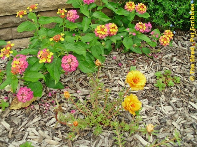Lantana Landmark Sunrise Rose with double-flower Portulaca