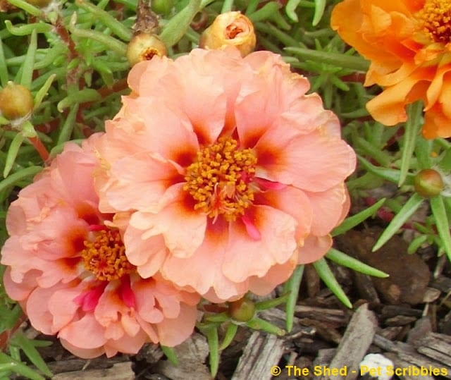 Double-flower Portulaca in a coral-peach color! Stunning!