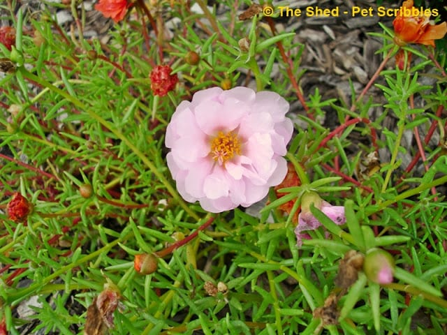 Double-flower Portulaca in a pale pink shade!