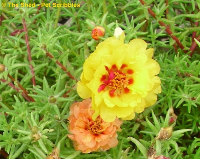 Double-flower Portulaca - these mixed colors are all on the same plant!