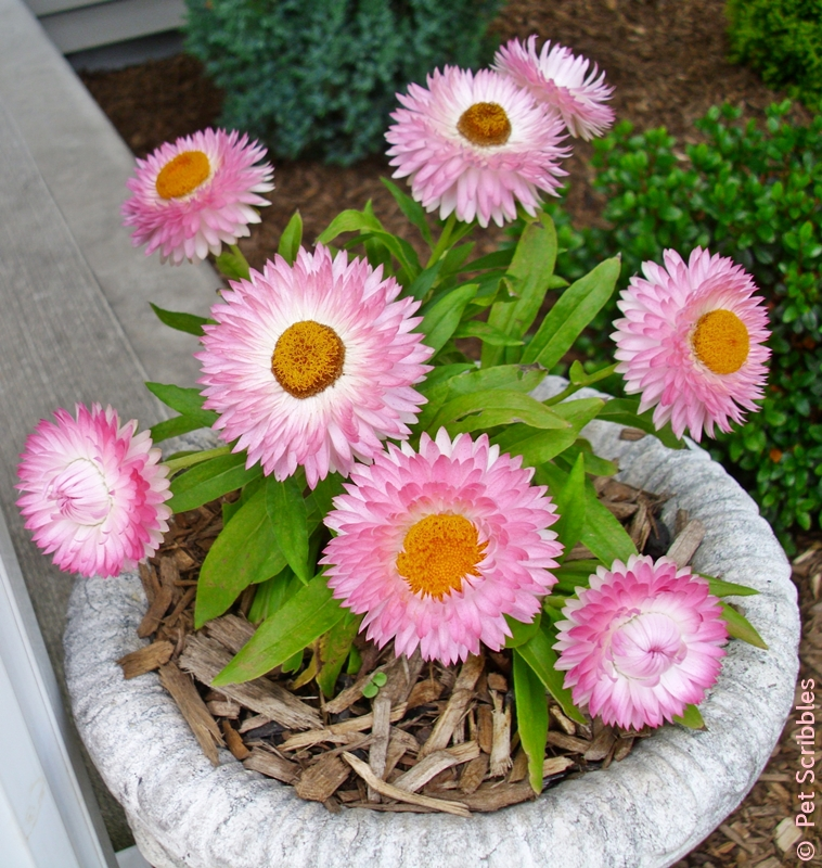 Strawflowers: long-blooming, drought-tolerant and SO easy to dry!